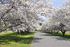 kwitnie czereśniową ulicę Obrazy Royalty Free