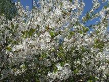 kwitnie czereśniową wiosna Zdjęcie Royalty Free