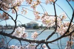 kwitnie czereśniowego Jefferson pomnika Obrazy Royalty Free