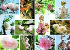 kwitnie czereśniowego kolaż zdjęcie royalty free