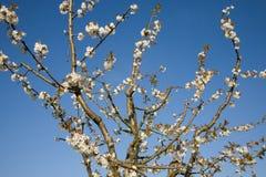 kwitnie czereśniowego drzewa fotografia royalty free