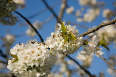 kwitnie czereśniowego drzewa zdjęcie royalty free
