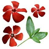 Kwitnie czerwień na białym odosobnionym tle z ścinek ścieżką zbliżenie Żadny cienie na widok Boczny widok zielone liście Zdjęcie Royalty Free