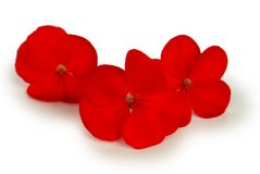 kwitnie czerwień Zdjęcia Stock