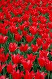 kwitnie czerwień Fotografia Royalty Free