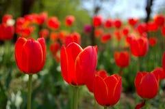 kwitnie czerwień Obraz Stock