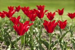 kwitnie czerwonego tulipanu Fotografia Royalty Free