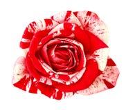 Kwitnie czerwonej biel róży odizolowywającej na białym tle Zakończenie bell świątecznej element projektu Zdjęcia Stock
