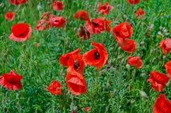 Kwitnie czerwonych maczki Fotografia Royalty Free