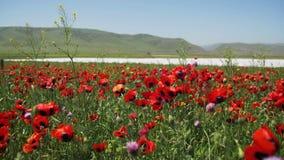 Kwitnie czerwonych maczki w śródpolnym kiwaniu w wiatrze na tle góry zbiory