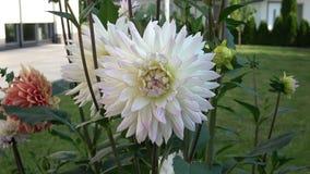 Kwitnie dalii Alva dekorative Białego ` s w ogródzie przeciw zielonemu ulistnienia tła zakończeniu kwiat światła playnig tło zbiory wideo