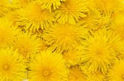 Kwitnie dandelions Zdjęcie Royalty Free