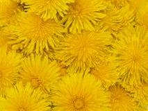 Kwitnie dandelions czerep Zdjęcia Royalty Free