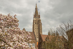 Kwitnie drzewa w tle Nasz dama kościół - Brugge, Belgia. Zdjęcie Royalty Free