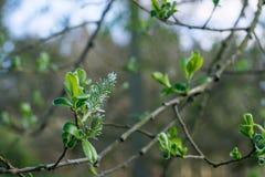 Kwitnie drzewo Fotografia Royalty Free