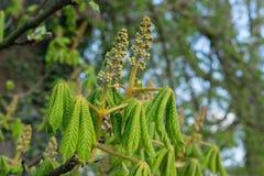Kwitnie drzewo Zdjęcia Stock