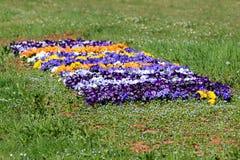 Kwitnie dywan robić Dziki pansy lub altówka tricolor mali dzicy kwiaty z płatkami w różnorodnych kolorach gęsto zasadzających w m obraz stock