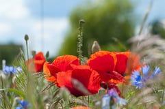 kwitnie dzikiego Zdjęcia Stock