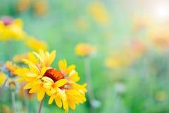 Kwitnie echinacea w kwiatu ogródzie na słonecznym dniu Obrazy Stock