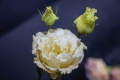 Kwitnie eustoma, Chińskie róże piękne, delikatni kolory zdjęcia royalty free