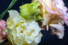 Kwitnie eustoma, Chińskie róże piękne, delikatni kolory obrazy royalty free