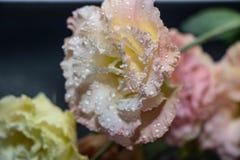 Kwitnie eustoma, Chińskie róże piękne, delikatni kolory fotografia stock