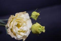 Kwitnie eustoma, Chińskie róże piękne, delikatni kolory zdjęcie royalty free