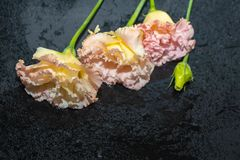 Kwitnie eustoma, Chińskie róże piękne, delikatni kolory obraz royalty free