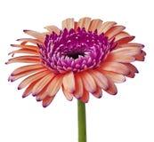 Kwitnie fiołka pomarańczowego Gerbera odizolowywającego na białym tle Zakończenie Kwiatu pączek na zielonym trzonie Zdjęcie Royalty Free
