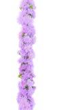 kwitnie fiołka Zdjęcia Stock