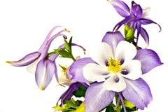 kwitnie fiołka Fotografia Stock
