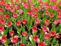 Kwitnie flowerbed z ciemnopąsowymi tulipanami Fotografia Stock
