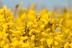 kwitnie forsyci kolor żółty Fotografia Stock