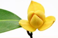 kwitnie fragrant Zdjęcia Royalty Free