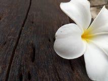 kwitnie frangipani Fotografia Royalty Free
