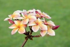 kwitnie frangipani Zdjęcie Stock