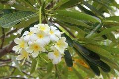 kwitnie frangipani Obraz Stock
