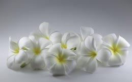 kwitnie frangipani Obrazy Royalty Free