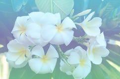 kwitnie frangipani zdjęcia stock