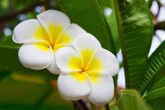 kwitnie frangipani Zdjęcia Royalty Free