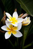 kwitnie frangipani Fotografia Stock