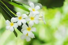 kwitnie frangipani Obrazy Stock