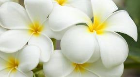 kwitnie frangipani biel kolor żółty Obraz Stock