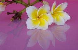 Kwitnie Frangipani biel, kolor żółty na kolor menchiach Zdjęcie Royalty Free