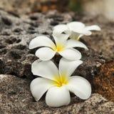 kwitnie frangipani tropikalnego Fotografia Stock