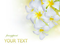 kwitnie frangipani zdrój Zdjęcie Royalty Free