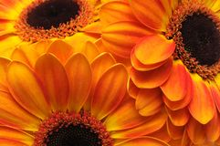 kwitnie gerber kolor żółty trzy Obrazy Royalty Free