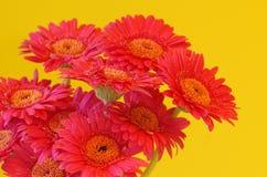 kwitnie gerbera Fotografia Royalty Free
