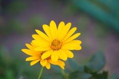 kwitnie heliopsis kolor żółty obrazy royalty free