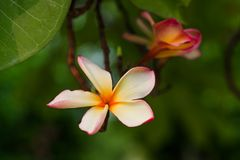 kwitnie hindusa Fotografia Stock